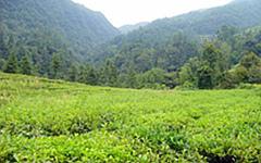 【三鶴園】茶園
